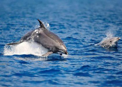 Pelo menos um golfinho morre por dia em Portugal nas redes de pesca, diz investigadora